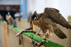 Hawk eating. Falcon eating chicken before hunting in Doha Qatar stock photo