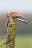 Hawk eating rodent Stock Image