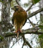 Hawk Eating Snake llevado a hombros rojo Fotografía de archivo libre de regalías