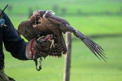 Hawk eating Stock Photos
