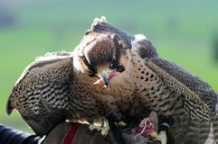 Hawk eating Stock Images