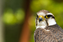 Hawk Royalty Free Stock Images