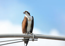Hawk on electrical pole. Close up shot of hawk on electrical pole Royalty Free Stock Images