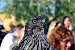 Hawk em um festival medieval Lastra da cidade de Marmantile um SIGNA Foto de Stock Royalty Free