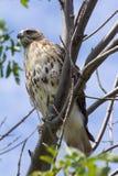 Hawk en un árbol. Fotografía de archivo libre de regalías