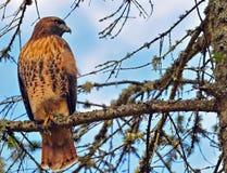 Hawk encaramado en un árbol. Foto de archivo libre de regalías