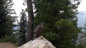 Hawk Enjoying Nature View Fotografering för Bildbyråer