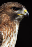 Hawk Eye. Side profile of a stunning Red-tailed Hawk.  This closeup shows incredible detail against a natural dark background.  Wonderful catch lights in the Stock Images