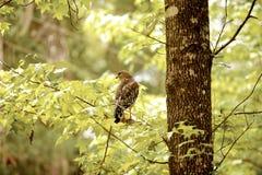 Hawk Eye Fotografia Stock