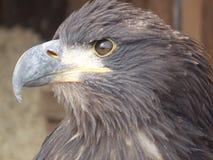 Hawk Eye Arkivfoton