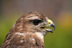 Hawk Eye. Side portrait of a hawk, sometimes used for the hobby of falconry Stock Image