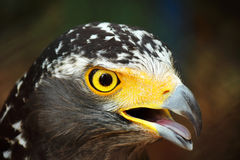 Hawk eye. Looking for hunt Royalty Free Stock Images