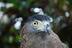 Hawk eye Stock Photo