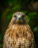 Hawk Eyes Staring på dig fotografering för bildbyråer