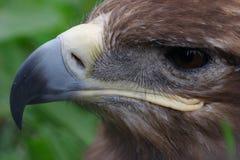 Hawk face. Closeup of hawk face (half face royalty free stock photography