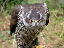 Hawk falco peregrinus looking closeup, falconry. Hawk landed and looking straight with attention waiting to attack. Falconry, Spain, Europe royalty free stock photos
