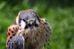 Hawk or falcon Royalty Free Stock Images