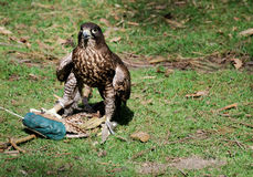 Hawk (falcon). A hawk sitting on the ground catching its prey, the lure royalty free stock photos