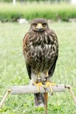 Hawk - falcon is ready for hunting, Lord of the sky, falcon standing and looking Royalty Free Stock Photos