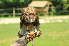 Hawk with falconer. Falconer with leather gloves holding a trained hawk. Falconry with birds of prey in the wildlife. Blurred background stock images