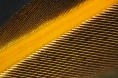 Hawk feather close-up showing rachis or shaft and barbs. Stock Photo