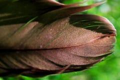 Hawk Feather munito rosso Fotografie Stock Libere da Diritti