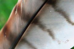 Hawk Feather Rosso-munito Fotografia Stock