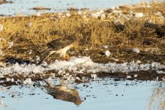 Hawk Feeding on a Snow Goose. At Bosque del Apache National Wildlife Refuge royalty free stock photo