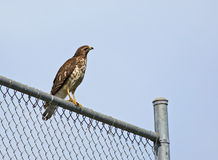 Hawk on the fence Royalty Free Stock Photo