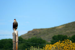 Hawk on a fence Royalty Free Stock Photos