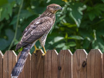 Hawk on Fence royalty free stock image