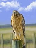 Hawk on a Fence Post. A beautiful hawk sitting on a fence post looking for prey Royalty Free Stock Photos