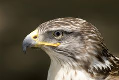 Hawk Ferruginous buteo. Ferruginous buteo bird head shot Stock Images