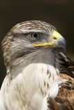Hawk, Ferruginous Buteo. Portrait in closeup Royalty Free Stock Photos