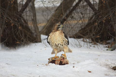 Hawk Finds Food in Winter Stock Photography