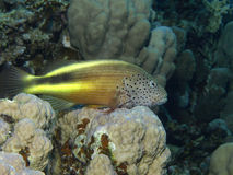 Hawk fish. In the red sea Royalty Free Stock Image