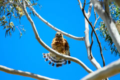 Hawk Flares Its Tail Feathers messo rosso Fotografie Stock Libere da Diritti