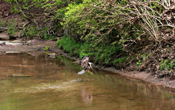 A Hawk Flies in The Cleveland Metroparks Stock Photo