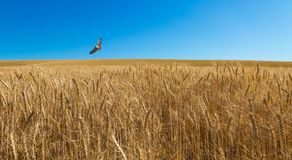 Hawk Patrols Wheat Field. A hawk flies over a wheat filed near Colfax, Washington. It knows exactly where to find its next meal royalty free stock image