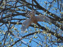 Hawk Flies To Second Tree com serpentes dirige em seu bico imagem de stock