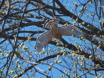 Hawk Flies To Second Tree con i serpenti si dirige in suo becco immagine stock