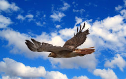 Hawk in flight Stock Photos