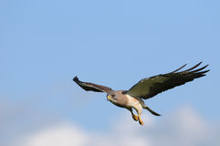 Hawk in-flight. Hawk in flight and an awesome blue sky background with white clouds Stock Photo
