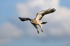 Hawk in-flight. Hawk in flight and an awesome blue sky background with white clouds Royalty Free Stock Photo