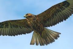 Hawk in flight. Over the Galapagos Islands Stock Photos