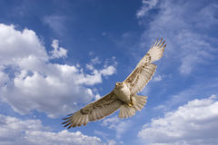 Hawk flight stock image