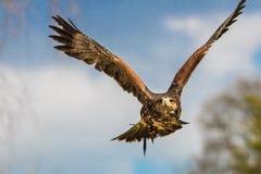 Hawk. A hawk in flight stock photo