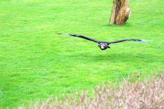 Hawk in flight on hunt over grass stock image
