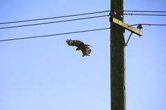 A Hawk in Flight Stock Images