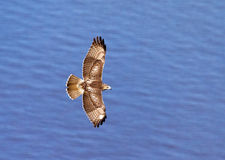 Hawk in flight over the Hudson River. The topside of a red tailed hawk in flight over the Hudson River. This image was taken from Stateline Lookout which is off Stock Photo